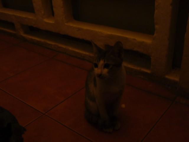 カンボジアの猫